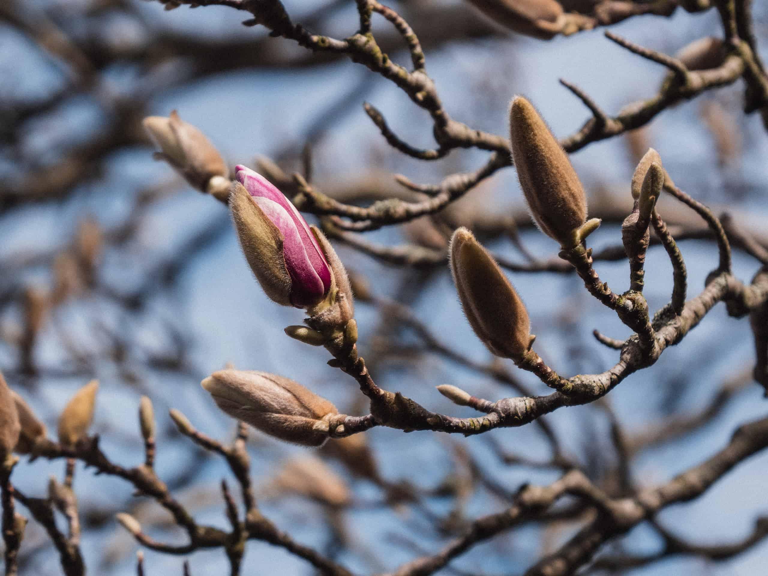 the magnolia